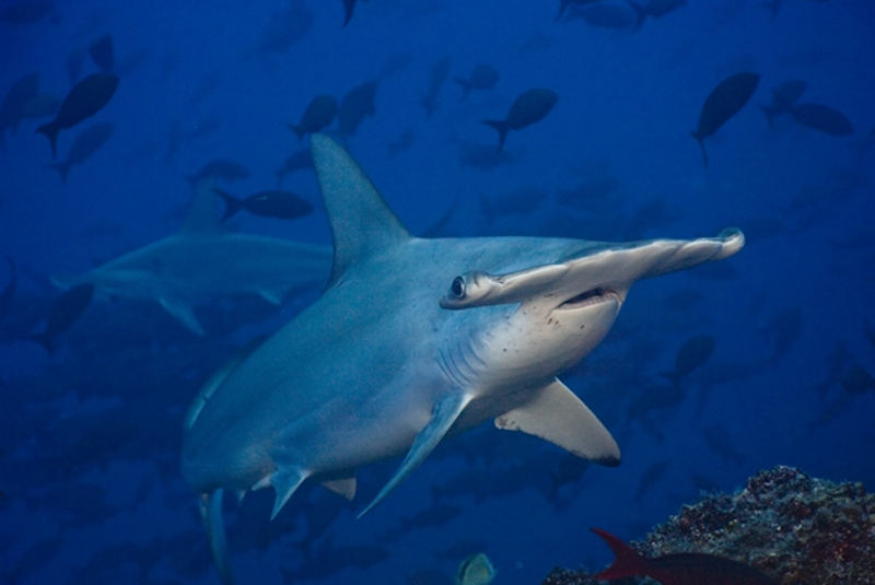 Credit George Duffield Cocos Hammerheads